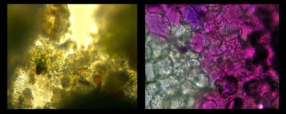 Images from the microscope using lichen and rose petals